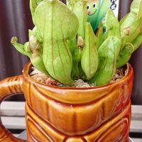 🆕食虫植物お迎えしました😆 サラセニアで...