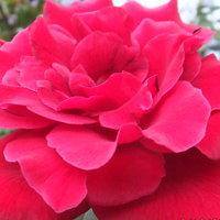 ツル薔薇 ドンファン