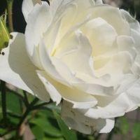 白薔薇~♡  アイスバーグ?