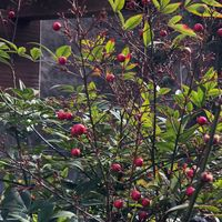 庭の奥でひっそりと実を付けていた南天