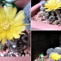 3⃣🌵黄色い花を咲かせたサボテンの三コマ...