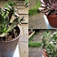 多肉植物を新しい大きな鉢に植え替えた...