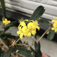#フェバリウム の #花 が咲きました。別...