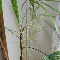 棕梠竹の花