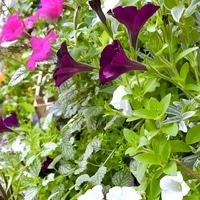 寄せ植えの花たちです💕