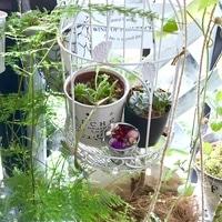 アスパラガスの植物 伸びてきてます✨✨