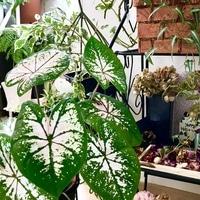 観葉植物カラージューム 綺麗な色になっ...