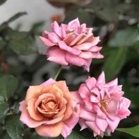 禅の2番花 不思議な色で良く咲きます。