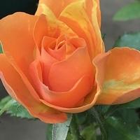 マラクジャコルダナ ミニ薔薇。