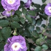 ブルーフォーユーの2番花 この色が好き...