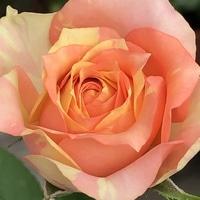 ミニ薔薇 シツコイようですが、可愛いで...
