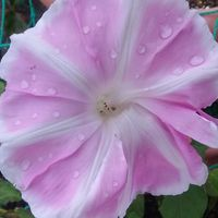 今年咲いた朝顔「曜白朝顔 富士の桃」