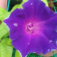 今年咲いた朝顔「ききょう咲朝顔 紫」