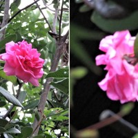 1⃣🌹薔薇のアーチからモミジの木を越えて...