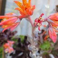 トプシータービー(エケベリア属)の花茎...