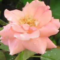 バラ芳純の花...薄色にすっかり花開いて...