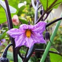 茄子の花  きれいな深い💜紫