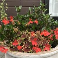 かえで葉ゼラニウムとコプロスマ✨ 秋に...