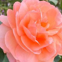 ルイーズ クレメンツ🌹  # Rosa