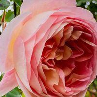 アブラハム ダービー🌹  # Rosa
