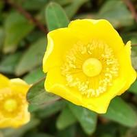 キンシバイ 開花長い❗