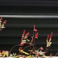 11/22ミナ・ロバータの花も終わり...