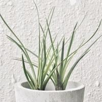 【メラノクラテル】 緑葉種、水好き系。...