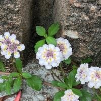 2019、7、19 道端で咲いていた小さな花。