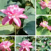 ピンクの『蓮の花』残暑きびしい中、開...
