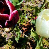 さくら公園の近くの府道沿いに咲く2色...