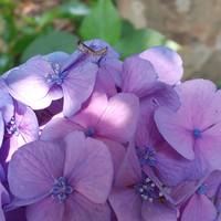 こっちの花にもカマキリ❗️