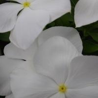 こんなに真っ白な花は珍しいかな。