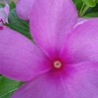 蛍光ピンクみたいです。