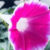 7/18 つばめ朝顔 今朝は四番めの花が咲...