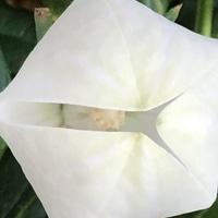 9/22 桔梗・五月雨ホワイト  # Platycod...