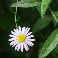野菊? 7/18  可愛い花が咲き始めました。