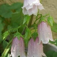 ホタルブクロの花