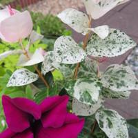 ハツユキカズラ。春は緑色の葉に白い斑...