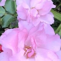 綺麗に咲いています。 ローゼンドルフ