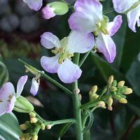 種から育てたダイコン。 そのヘタから花...
