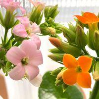 綺麗に咲いています。 カランコエ