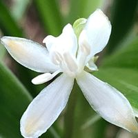 咲き出しました。 インドチョウラン