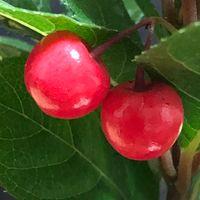 赤い実が綺麗です。 ヤブコウジ