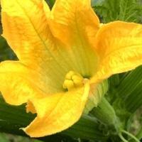 綺麗に咲いています。 ズッキーニ