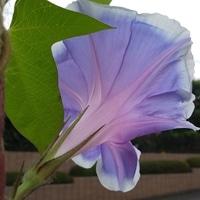 朝顔棚の上側の花が増えてきた。太陽に...