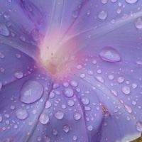 久々の雨。薄紫色の雨粒みたいです。