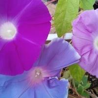 久しぶりにトリオ咲きました。