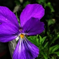 次々咲き続けるビオラ・ツタンカーメン