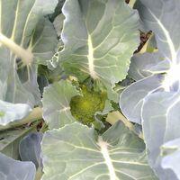 種蒔きっこブロッコリーにやっとつぼみ...