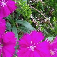 撫子は年間通して咲いています。